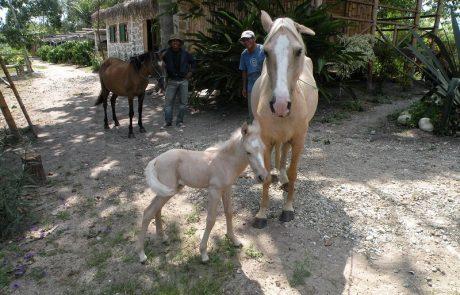 Stute mit Fohlen auf der Hacienda El Dorado, Ecuador