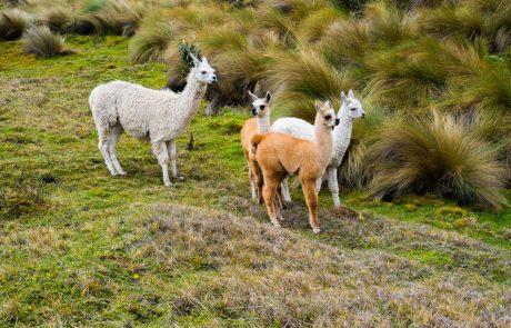 Lamas in Cajas, Ecuador