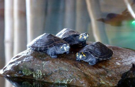 Schildkröten auf der Hacienda El Dorado, Ecuador