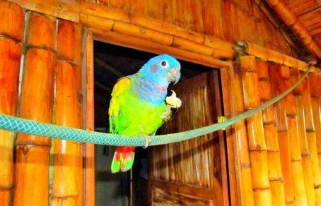 Papagei am Essen auf der Hacienda El Dorado, Ecuador