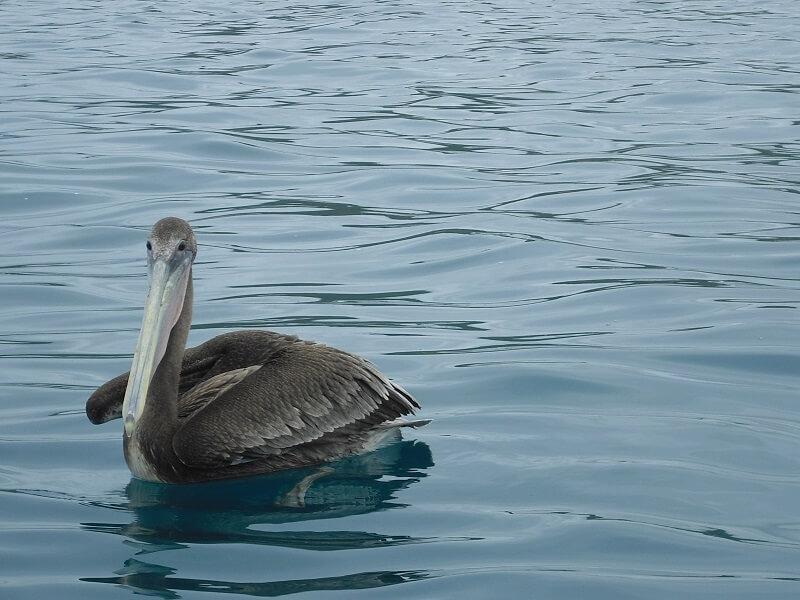 Pelican in Puerto Lopez, Ecuador