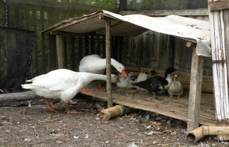 Gooses with adopted duck-kids at hacienda-eldorado.com