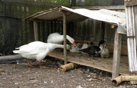 Gooses with adopted duck-kids at hacienda-eldorado.com