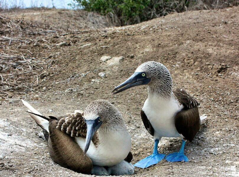 Blue-footed booby, Isla de la plata Ecuador