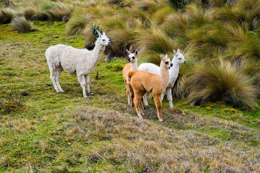 Llamas in Cajas, Ecuador