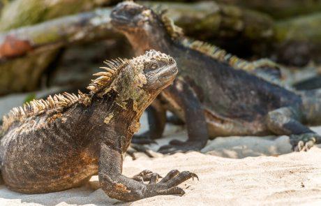 Iguana marina, Islas de Galápagos