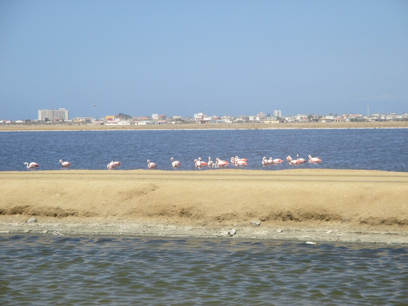 Flamingos in Salinas, Ecuador