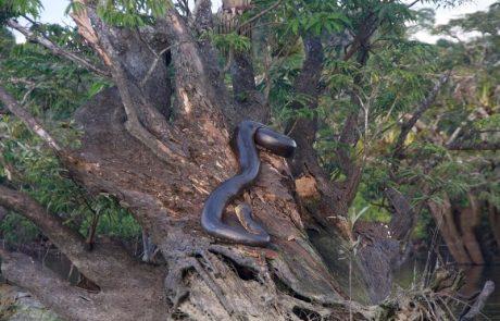 Anaconda en Cuyabeno, Ecuador