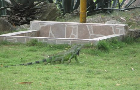Iguana crossing the grass at hacienda-eldorado.com Ecuador