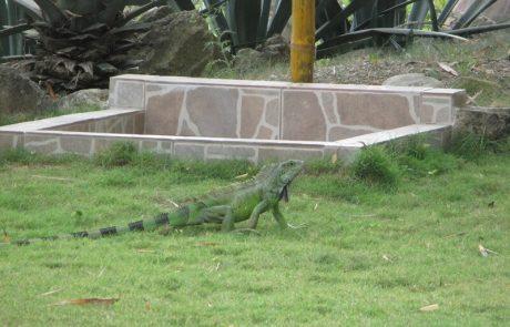 Iguana crossing the grass at hacienda-eldorado.com Ecuador