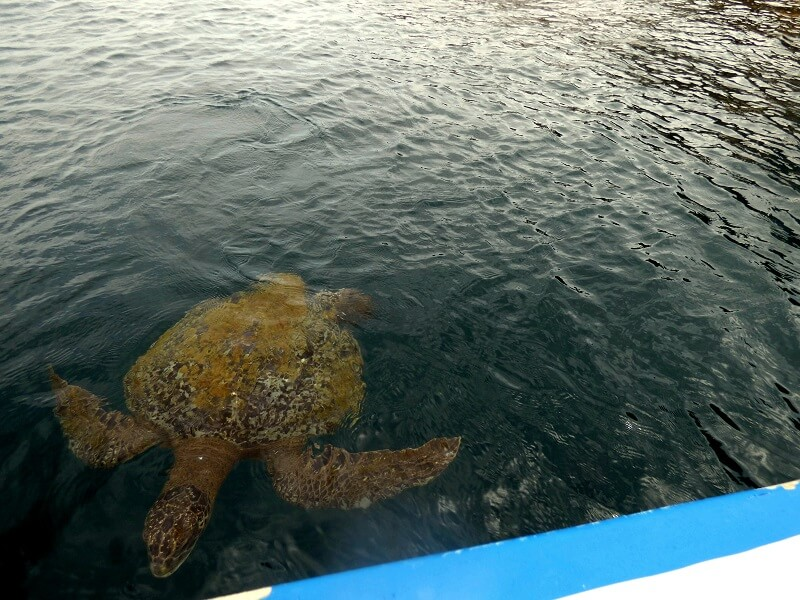 Isla de la plata, Ecuador - Turtle