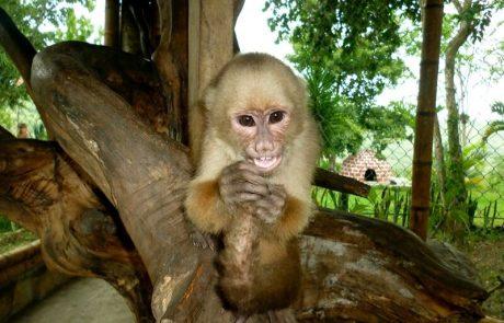 Capuchin monkey on Hacienda El Dorado Ecuador