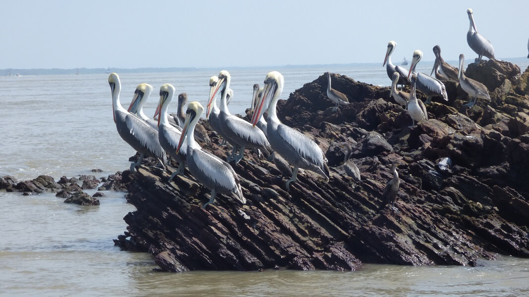 Pelicans on the dolphin sightseeing tour, Hacienda El Dorado Ecuador