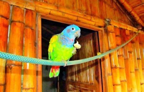 Colorful blue-headed parrot at hacienda-eldorado.com