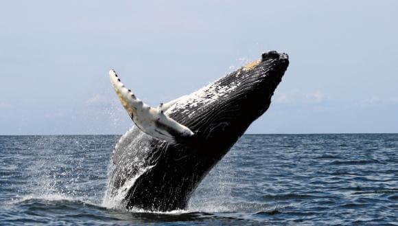 Observación de ballenas, Ecuador