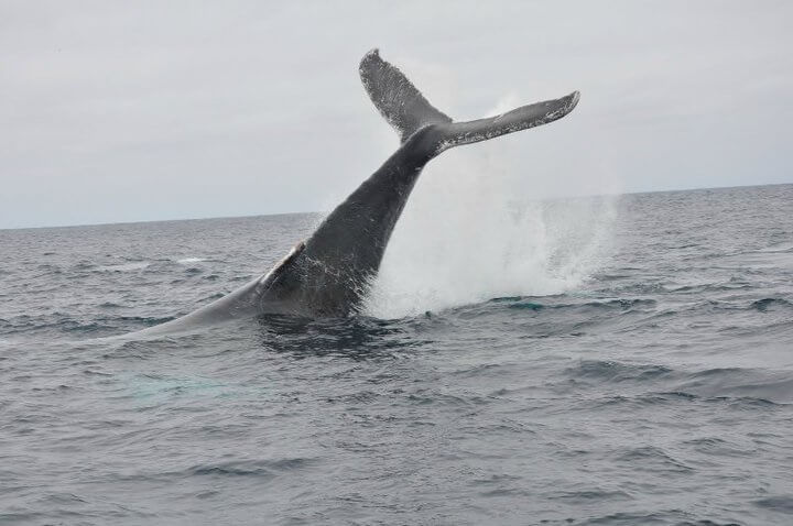 Whale Watching Boat Tour Ecuador
